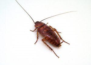 coackroach